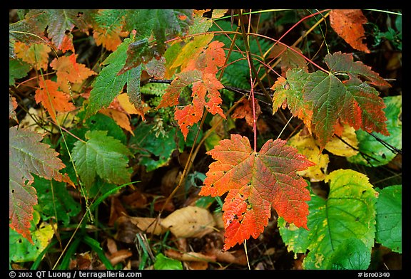 Maple leaves on forest floor. Isle Royale National Park (color)
