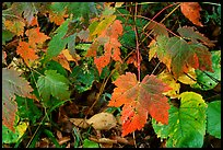Maple leaves on forest floor. Isle Royale National Park, Michigan, USA. (color)