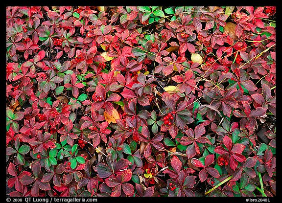 Berry leaves on forest floor in autumn. Isle Royale National Park (color)