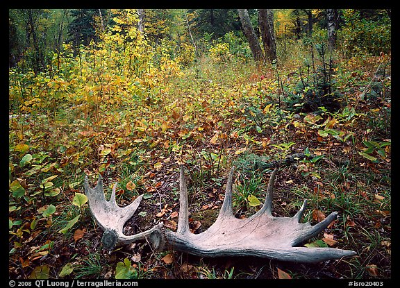 Fallen moose antlers in autumn forest. Isle Royale National Park (color)