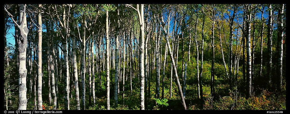 Birch north woods forest scene. Isle Royale National Park (color)