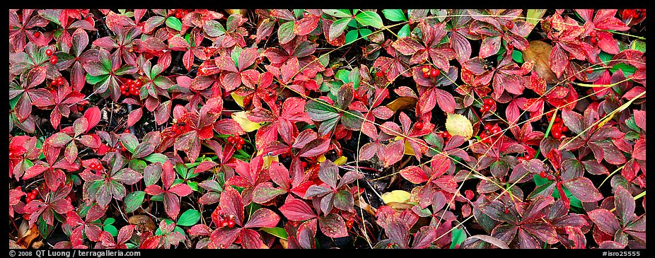 Close-up of berry leaves in autumn colors. Isle Royale National Park (color)