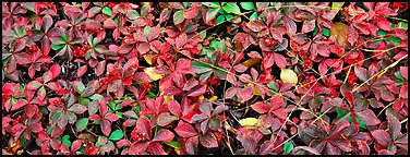 Close-up of berry leaves in autumn colors. Isle Royale National Park (Panoramic color)