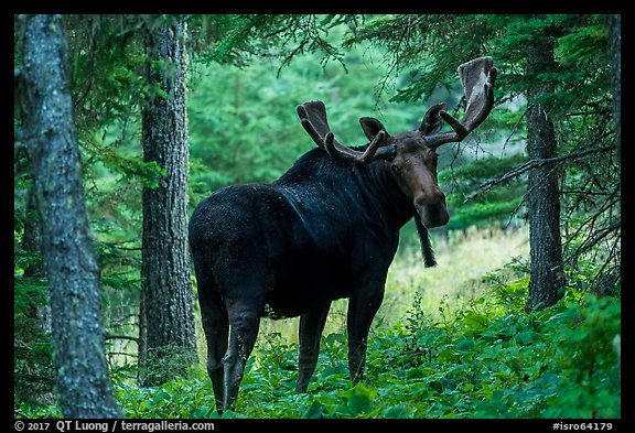 Bull moose in summer forest. Isle Royale National Park (color)