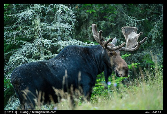 Bull moose in meadow. Isle Royale National Park (color)