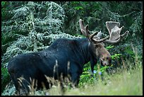 Bull moose in meadow. Isle Royale National Park ( color)
