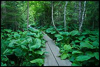 Boardwalk in forest. Isle Royale National Park ( color)