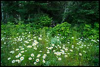 Daisies and forest, Mott Island. Isle Royale National Park ( color)