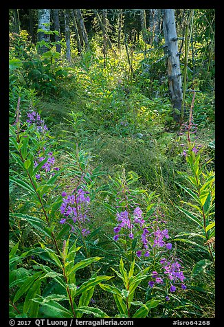 Fireweed starting bloom, Caribou Island. Isle Royale National Park (color)