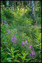 Fireweed starting bloom, Caribou Island. Isle Royale National Park ( color)