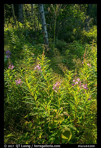 Backlit fireweed, Caribou Island. Isle Royale National Park (color)