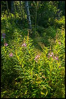 Backlit fireweed, Caribou Island. Isle Royale National Park ( color)