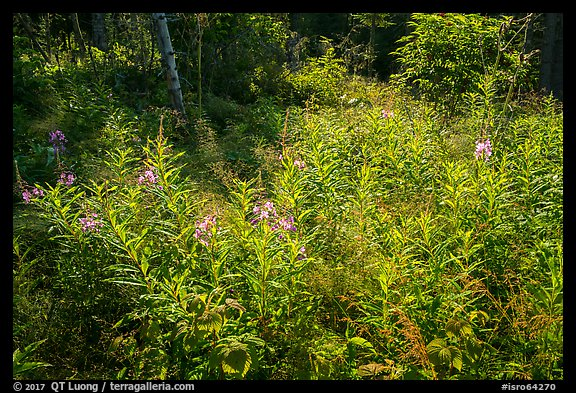 Fireweed and dense forest, Caribou Island. Isle Royale National Park (color)