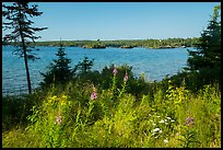 Fireweed, water, and forest, Caribou Island. Isle Royale National Park ( color)