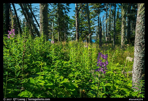 Dense forest vegetation in summer, Caribou Island. Isle Royale National Park (color)