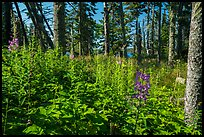 Dense forest vegetation in summer, Caribou Island. Isle Royale National Park ( color)