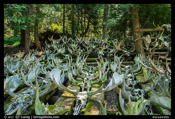 Collection of moose antlers and skulls. Isle Royale National Park (color)