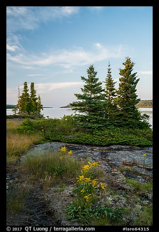 Yellow wildflowers, Moskey Basin, Rock Harbor in the distance. Isle Royale National Park (color)