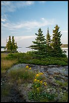 Yellow wildflowers, Moskey Basin, Rock Harbor in the distance. Isle Royale National Park ( color)
