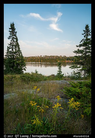 Yellow wildflowers, Moskey Basin. Isle Royale National Park (color)