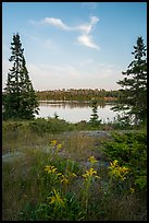 Yellow wildflowers, Moskey Basin. Isle Royale National Park ( color)