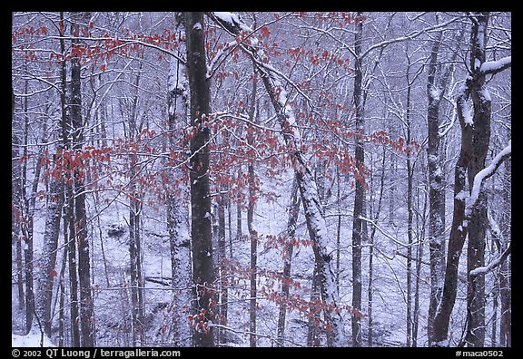 Trees in winter with snow and old leaves. Mammoth Cave National Park (color)