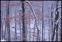 Trees in winter with snow and old leaves. Mammoth Cave National Park ( color)