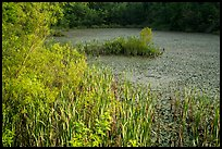 Aquatic plants, Sloans Crossing Pond. Mammoth Cave National Park ( color)