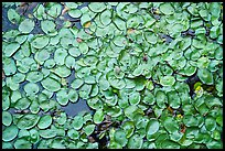 Close-up of water lillies, Sloans Crossing Pond. Mammoth Cave National Park ( color)