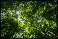 Looking up tree canopy in summer. Mammoth Cave National Park ( color)