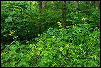 Summer wildflowers and forest. Mammoth Cave National Park ( color)