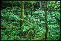 Dense vegetation in sinkhole near Turnhole Bend. Mammoth Cave National Park ( color)