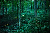 Fireflies in forest. Mammoth Cave National Park ( color)