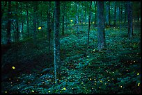 Synchronous fireflies in forest. Mammoth Cave National Park ( color)