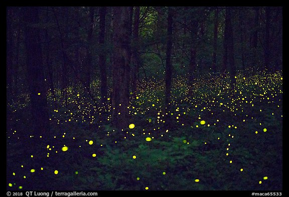 Fireflies light the night in forest. Mammoth Cave National Park (color)