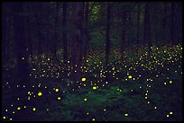Fireflies light the night in forest. Mammoth Cave National Park ( color)
