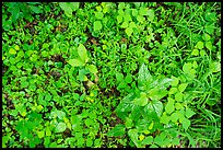 Close-up of forest undergrowth. Mammoth Cave National Park ( color)