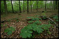 May apple plants with giant leaves on forest floor. Mammoth Cave National Park ( color)