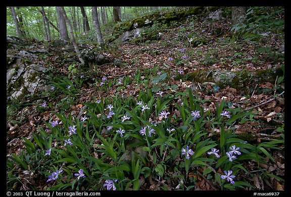 Crested dwarf irises. Mammoth Cave National Park (color)