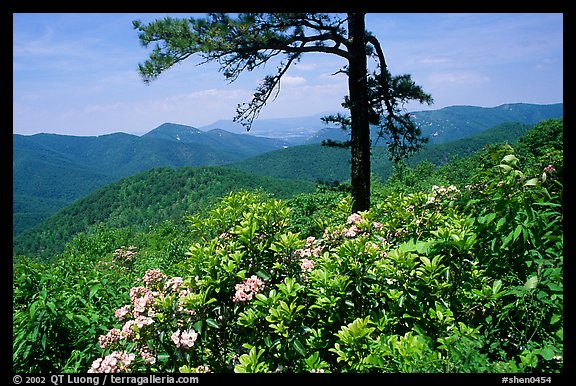 Rododendrons and tree from overlook on Skyline Drive. Shenandoah National Park (color)