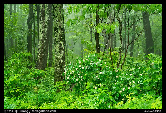 Blooms in foggy forest, Compton Gap. Shenandoah National Park (color)