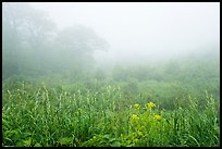 Meadow with wildflowers in fog, Little Hogback Overlook. Shenandoah National Park ( color)