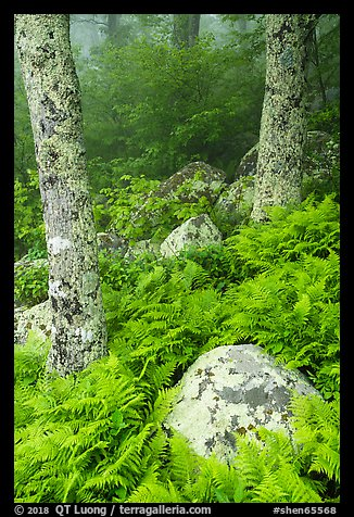 Boulders, ferns, and trees in fog. Shenandoah National Park (color)