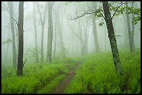 Appalachian Trail in lush forest with fog. Shenandoah National Park ( color)