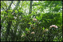 Mountain Laurel in bloom, Lewis Mountain Campground. Shenandoah National Park ( color)