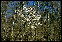 Tree in bloom amidst bare trees near Bear Face trailhead, afternoon. Shenandoah National Park, Virginia, USA. (color)