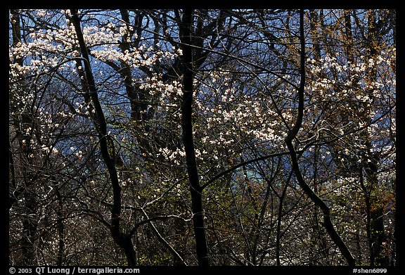 Backlit dogwoods in forest, afternoon. Shenandoah National Park, Virginia, USA.