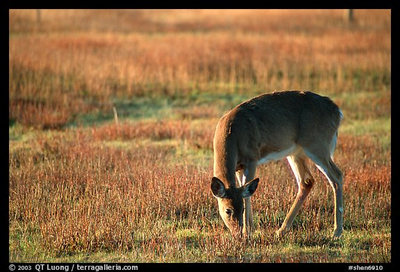 Whitetail Deer grazing in Big Meadows, early morning. Shenandoah National Park (color)