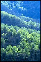 Backlit trees on hillside in spring, morning. Shenandoah National Park, Virginia, USA.
