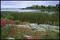 Grasses and red plants at Black Bay narrows on a cloudy day. Voyageurs National Park, Minnesota, USA.